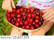 Купить «Basket with red wet cherry and hands of little girl on grass», фото № 25837975, снято 24 июня 2015 г. (c) Losevsky Pavel / Фотобанк Лори