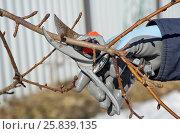 Купить «Обрезка плодовых деревьев весной на дачном участке», эксклюзивное фото № 25839135, снято 26 марта 2017 г. (c) Елена Коромыслова / Фотобанк Лори