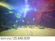 Купить «SOCHI, RUSSIA - JUL 24, 2014: Diving in the Oceanarium Sochi Discovery World Aquarium», фото № 25840839, снято 24 июля 2014 г. (c) Losevsky Pavel / Фотобанк Лори