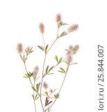 Купить «Клевер пашенный, Trifolium arvense, изолированно на белом», фото № 25844007, снято 27 марта 2017 г. (c) Tamara Kulikova / Фотобанк Лори
