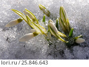 Beautiful snowdrops in the melted snow. Стоковое фото, фотограф Марина Горянцева / Фотобанк Лори