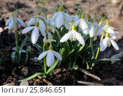 Snowdrops with drops of water. Стоковое фото, фотограф Марина Горянцева / Фотобанк Лори
