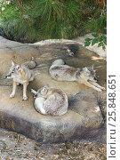 Купить «Геленджик, Сафари-парк, лисица степная или коpсак», эксклюзивное фото № 25848651, снято 4 октября 2016 г. (c) Dmitry29 / Фотобанк Лори