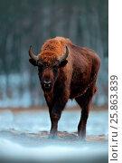Купить «European bison», фото № 25863839, снято 15 декабря 2013 г. (c) easy Fotostock / Фотобанк Лори