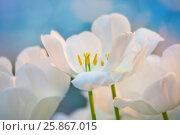 Купить «Белые тюльпаны», фото № 25867015, снято 4 марта 2016 г. (c) Татьяна Белова / Фотобанк Лори
