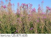 Blooming Sally herbs on the summer field. Стоковое фото, фотограф Жукова Юлия / Фотобанк Лори