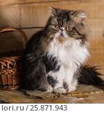 Young magnificent cat of the Persian breed near a basket against the background of in style a rustic, фото № 25871943, снято 26 марта 2017 г. (c) Anatoly Timofeev / Фотобанк Лори