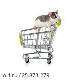 Купить «Детеныш крысы сидящий в покупательской тележке.», фото № 25873279, снято 18 июня 2019 г. (c) Olesya Tseytlin / Фотобанк Лори