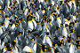 King penguins colony at South Georgia, фото № 25879227, снято 25 января 2007 г. (c) Vladimir / Фотобанк Лори