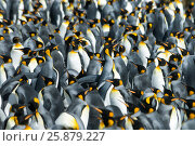 Купить «King penguins colony at South Georgia», фото № 25879227, снято 25 января 2007 г. (c) Vladimir / Фотобанк Лори