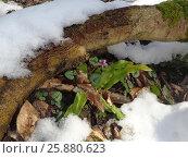 Купить «Первые зеленые листья папоротника и цветы цикламена среди тающего снега в лесу», фото № 25880623, снято 1 февраля 2017 г. (c) DiS / Фотобанк Лори