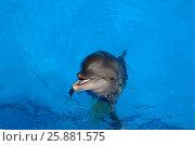 Купить «Happy dolphin smiling», фото № 25881575, снято 17 августа 2016 г. (c) Акоп Васильян / Фотобанк Лори