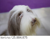 Купить «Собака Бородатый колли (Bearded Collie)», фото № 25884875, снято 1 апреля 2017 г. (c) Галина Савина / Фотобанк Лори