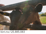Купить «goat portrait closeup», фото № 25885083, снято 19 сентября 2016 г. (c) Jan Jack Russo Media / Фотобанк Лори