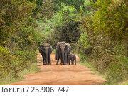 Купить «Asian or Asiatic elephants (Elephas maximus) family cross the road in Yala National Park, Sri Lanka», фото № 25906747, снято 19 октября 2019 г. (c) BE&W Photo / Фотобанк Лори