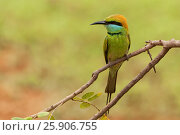 Купить «Little green bee-eater (merops orientalis), Yala National Park, Sri Lanka, Asia», фото № 25906755, снято 18 июля 2019 г. (c) BE&W Photo / Фотобанк Лори
