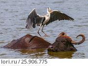 Купить «Grey heron (Ardea cinerea) and Asian water buffalo (Bubalus bubalis) in Yala national park, Sri Lanka», фото № 25906775, снято 6 декабря 2019 г. (c) BE&W Photo / Фотобанк Лори