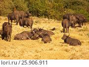The African buffalos or Cape buffalos (Syncerus caffer), a large African bovine, Aberdare National Park, Kenya. Стоковое фото, агентство BE&W Photo / Фотобанк Лори