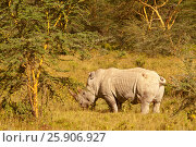 Купить «White rhinoceros ( Ceratotherium simum) in Lake Nakuru national park in Kenya», фото № 25906927, снято 8 декабря 2019 г. (c) BE&W Photo / Фотобанк Лори