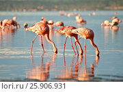 Купить «The lesser flamingoes (Phoenicopterus minor) at lake Nakuru, Kenya», фото № 25906931, снято 25 марта 2019 г. (c) BE&W Photo / Фотобанк Лори