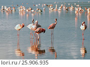 Купить «The lesser flamingoes (Phoenicopterus minor) at lake Nakuru, Kenya», фото № 25906935, снято 25 марта 2019 г. (c) BE&W Photo / Фотобанк Лори