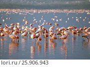 Купить «The lesser flamingoes (Phoenicopterus minor) at lake Nakuru, Kenya», фото № 25906943, снято 25 марта 2019 г. (c) BE&W Photo / Фотобанк Лори