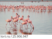 Купить «The lesser flamingoes (Phoenicopterus minor) at lake Nakuru, Kenya», фото № 25906947, снято 25 марта 2019 г. (c) BE&W Photo / Фотобанк Лори