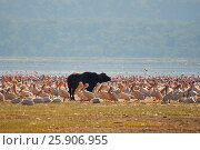 Купить «Buffalo lying in the water on the background of big flocks of flamingos. Kenya. Africa. Nakuru National Park.», фото № 25906955, снято 12 декабря 2019 г. (c) BE&W Photo / Фотобанк Лори