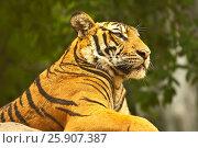 Купить «Bengal tiger (Panthera tigris), Bangkok zoo, Thailand», фото № 25907387, снято 23 августа 2019 г. (c) BE&W Photo / Фотобанк Лори