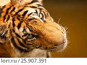 Купить «Bengal tiger (Panthera tigris), Bangkok zoo, Thailand», фото № 25907391, снято 23 августа 2019 г. (c) BE&W Photo / Фотобанк Лори