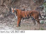 Купить «The Royal Bengal Tiger (Panthera tigris tigris), Corbet National Park, India, Asia», фото № 25907483, снято 23 августа 2019 г. (c) BE&W Photo / Фотобанк Лори