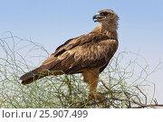 Купить «Steppe eagle (Aquila nipalensis) is a bird of prey in Rajasthan, India», фото № 25907499, снято 20 января 2019 г. (c) BE&W Photo / Фотобанк Лори