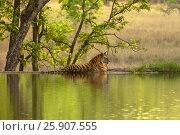 Купить «The Bengal tiger (Panthera tigris tigris) on the lake shore in Ranthambore National Park, India», фото № 25907555, снято 23 августа 2019 г. (c) BE&W Photo / Фотобанк Лори