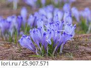 Crocus longiflorus (crocuses or croci) is a genus of flowering plants in the iris family, Tatrzanski National Park, Poland. Стоковое фото, агентство BE&W Photo / Фотобанк Лори