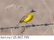 Купить «The western yellow wagtail (Motacilla flava)», фото № 25907795, снято 26 января 2020 г. (c) BE&W Photo / Фотобанк Лори