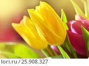 Spring flowers. Pink Tulips,closeup. Flower background.Beautiful close up macro photo of tulip. Стоковое фото, фотограф Irina Shisterova / Фотобанк Лори