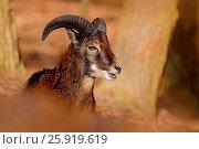 Купить «Mouflon, Ovis orientalis», фото № 25919619, снято 13 февраля 2016 г. (c) easy Fotostock / Фотобанк Лори
