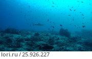 School of fish Gray reef shark (Carcharhinus amblyrhynchos) and red-toothed triggerfish (Odonus niger) in blue water near coral reef, Indian Ocean, Maldives. Стоковое видео, видеограф Некрасов Андрей / Фотобанк Лори