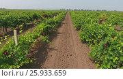 Купить «Aerial view on extensive vineyards in Russia», видеоролик № 25933659, снято 31 марта 2017 г. (c) Михаил Коханчиков / Фотобанк Лори