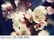 Gentle cherry blossom flowers closeup on dark blue background. Стоковое фото, фотограф Жданова Дарья Юрьевна / Фотобанк Лори