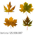 Set the autumn maple branch with leaves isolated. Стоковое фото, фотограф Lora Liu / Фотобанк Лори