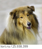 Купить «Собака Колли», фото № 25938399, снято 1 апреля 2017 г. (c) Галина Савина / Фотобанк Лори