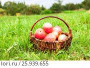 Купить «Плетеная корзина из лозы со спелыми свежими яблоками стоит на траве в саду», фото № 25939655, снято 26 сентября 2018 г. (c) FotograFF / Фотобанк Лори