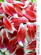 Лепестки тюльпанов. Стоковое фото, фотограф AminaTaulat / Фотобанк Лори