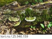 Купить «Зеленый гриб трутовик горбатый (лат. Trametes gibbosa) растет на замшелом валежнике в лиственном лесу», фото № 25940159, снято 2 апреля 2017 г. (c) Наталья Гармашева / Фотобанк Лори