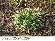 Купить «Подснежник, или Галантус ( Galánthus) в лесу», фото № 25940299, снято 6 апреля 2017 г. (c) Алёшина Оксана / Фотобанк Лори