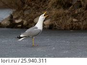Купить «Хохотунья. Yellow-legged Gull (Larus cachinnans). The species of bird is identificated rough.», фото № 25940311, снято 26 марта 2017 г. (c) Василий Вишневский / Фотобанк Лори