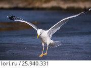 Купить «Хохотунья. Yellow-legged Gull (Larus cachinnans). The species of bird is identificated rough.», фото № 25940331, снято 26 марта 2017 г. (c) Василий Вишневский / Фотобанк Лори