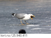 Купить «Хохотунья. Yellow-legged Gull (Larus cachinnans). The species of bird is identificated rough.», фото № 25940411, снято 1 апреля 2017 г. (c) Василий Вишневский / Фотобанк Лори