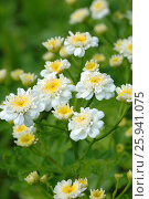 Branch of white small flowers chamomile. Стоковое фото, фотограф Марина Горянцева / Фотобанк Лори